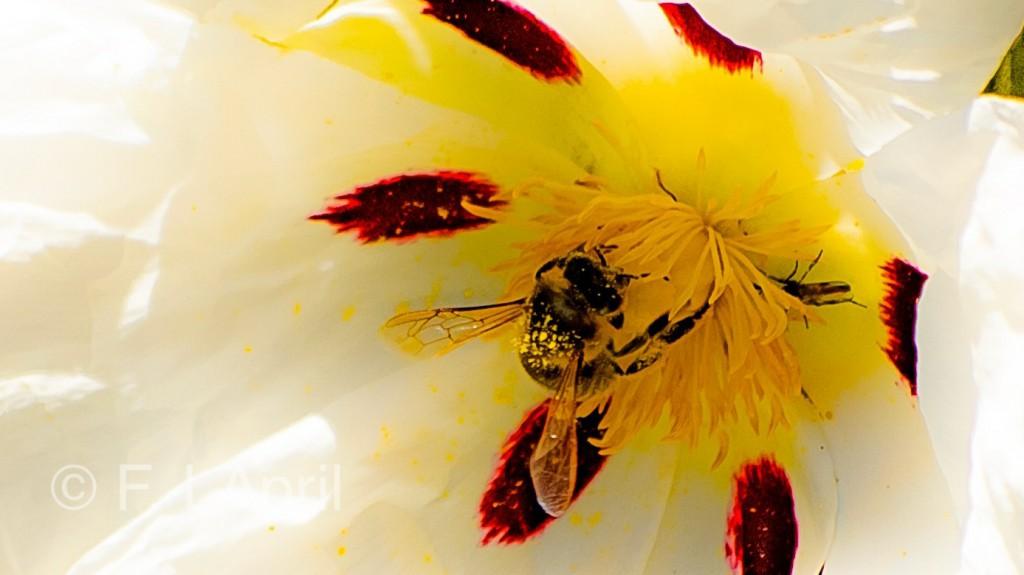 Abeja entre el polen de la jara - Bee under gum rockrose`s flower pollen