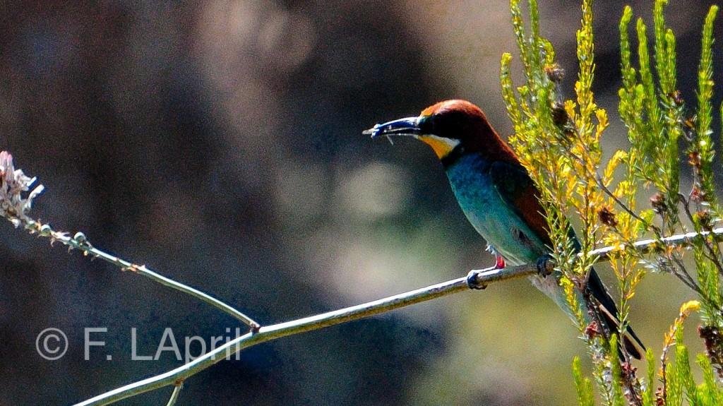 Abejaruco común (Merops aplaster) - European bee-eater