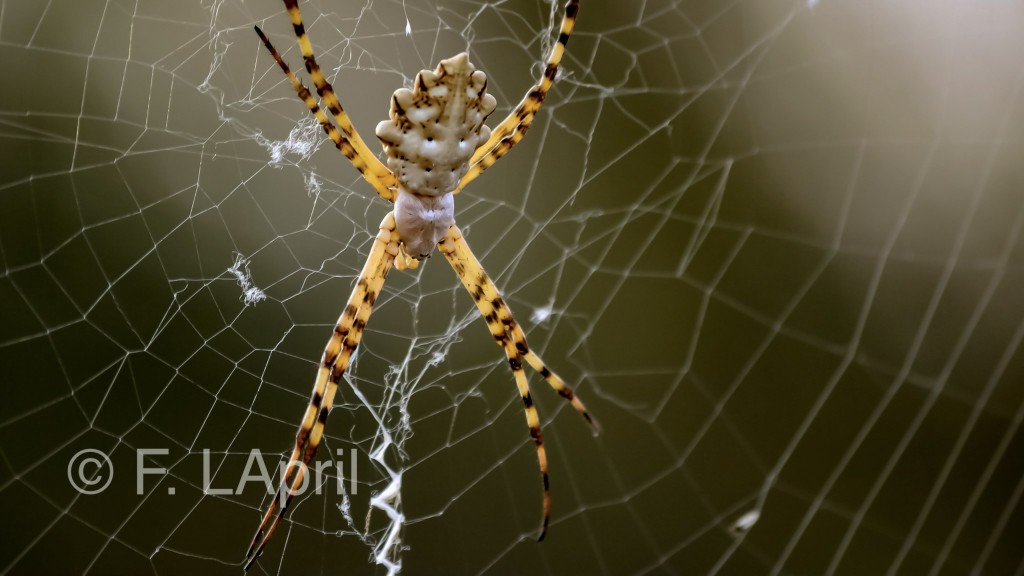 Araña tgre (Ariope argentata) - Silver argiope