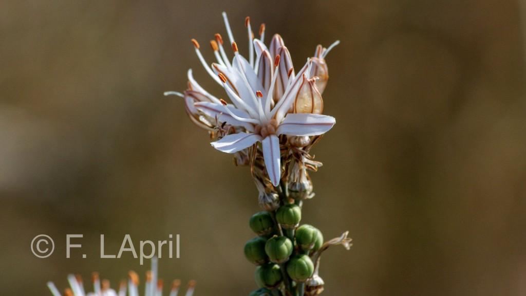 Asfódelos (Asphodelus ramosus) - Branched asphodel