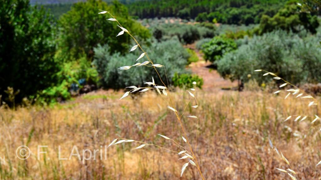 Avena silvestre en verano - Wild oats in summer