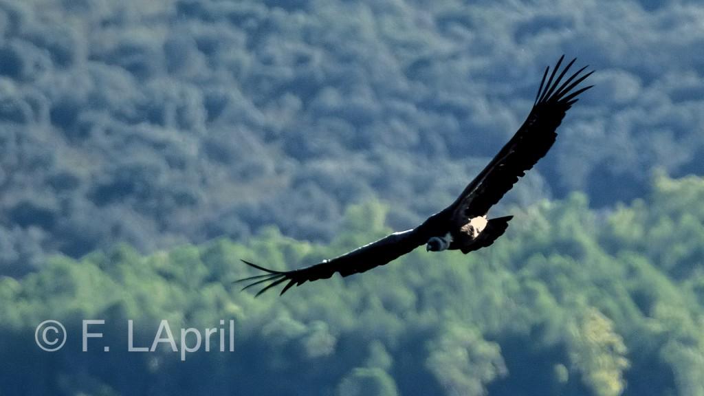 Buitre leonado (Gyps fulvus) - Grifton vulture