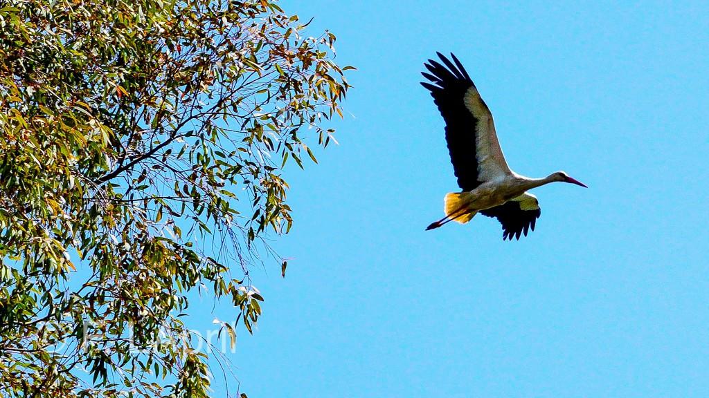 Cigüeña blanca (Ciconia ciconia) - White stork