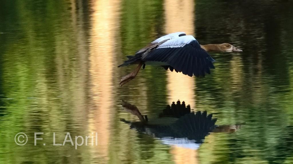 Ganso del Nilo (Alopochen aegyptiaca) - Egyptian goose
