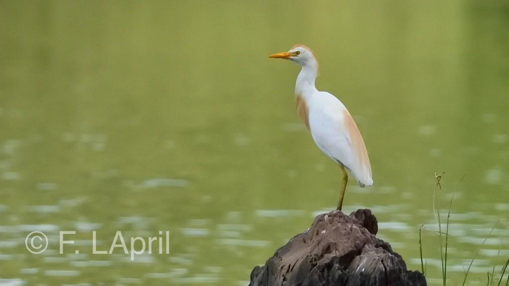 Garcilla bueyera (Bubulcus ibis) - Western cattle egret