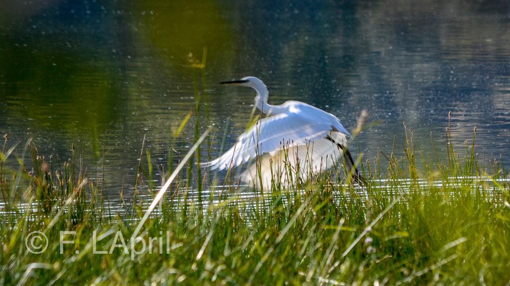 Garza blanca (Ardea alba) - Great egret