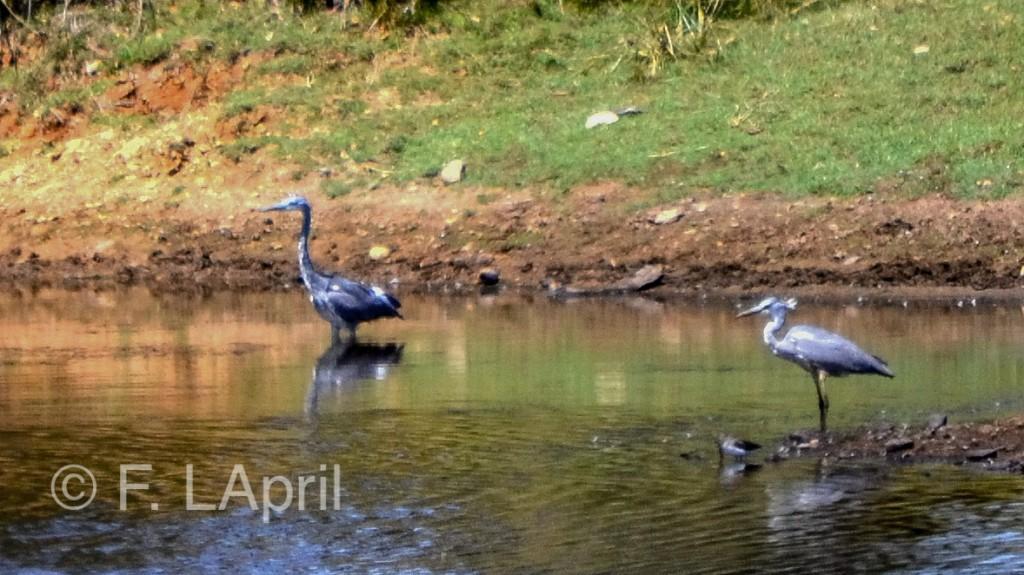 Garza imperial (Ardeapurpurea) - Purple heron