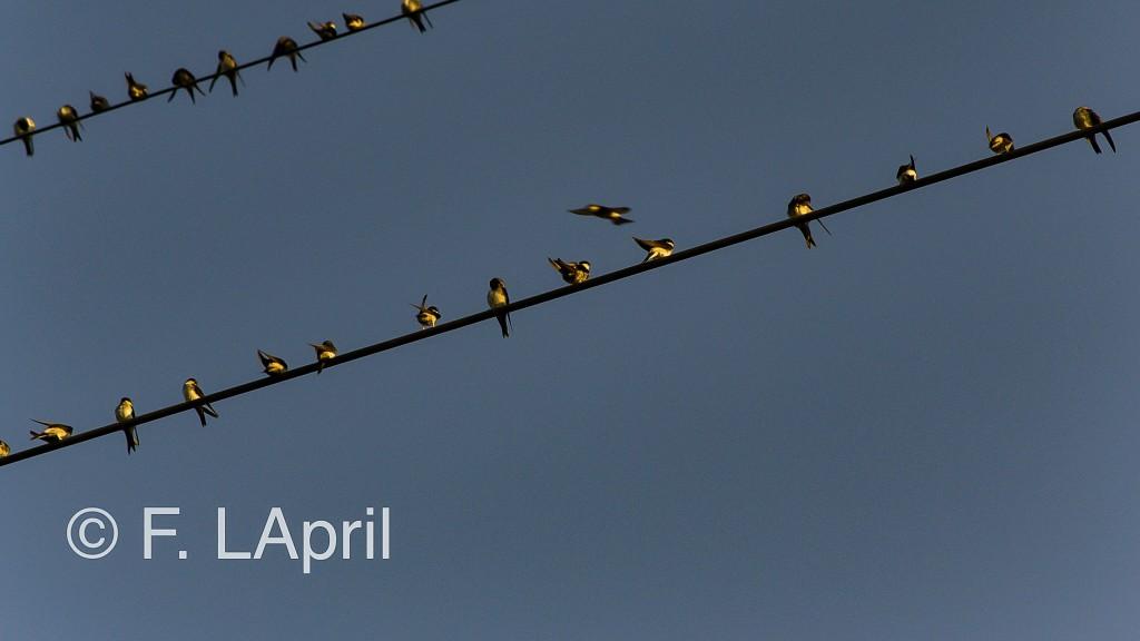 Golondrina común (Hirundo rustica) - Barn swallow