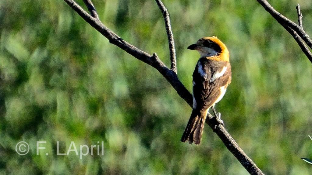 Gorrión común (Passer domesticus) - House sparrow