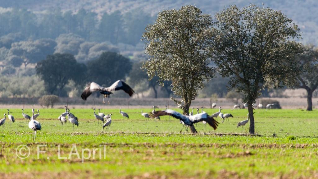 Grulla común (Grus grus) - Common crane