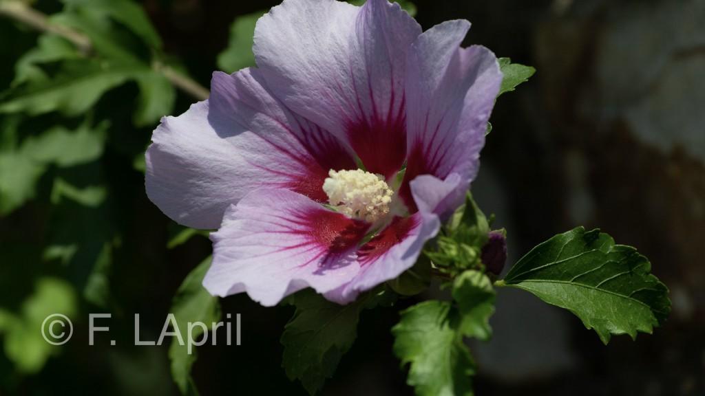 Hibisco (Hibiscus syriacus) - Rose mallow