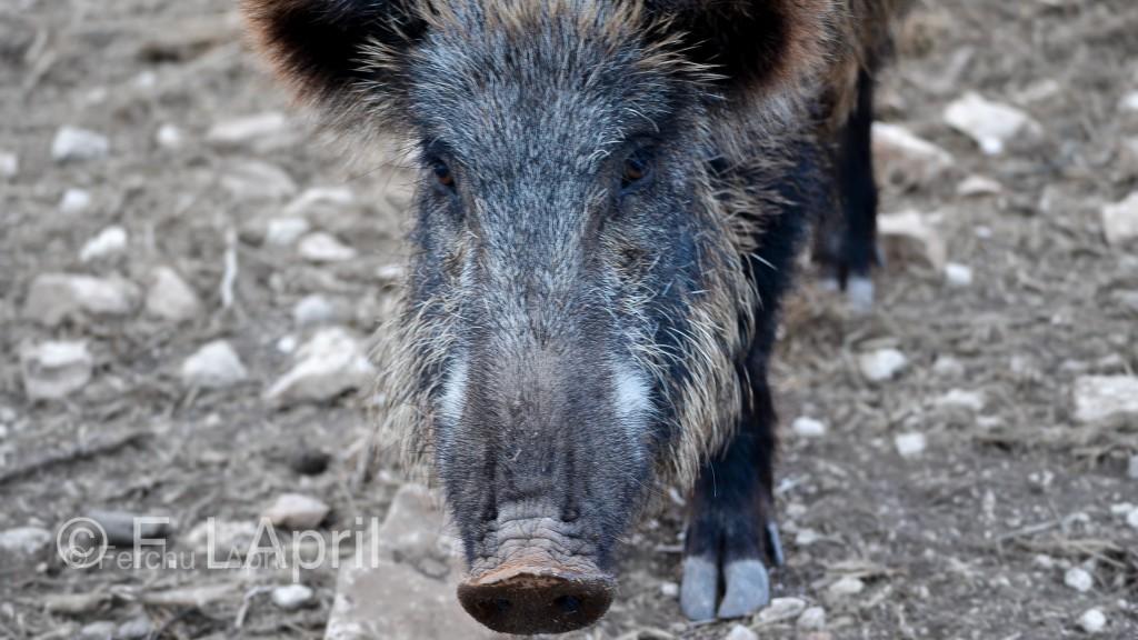 Jabalí (Sus scrofa) - Wild boar