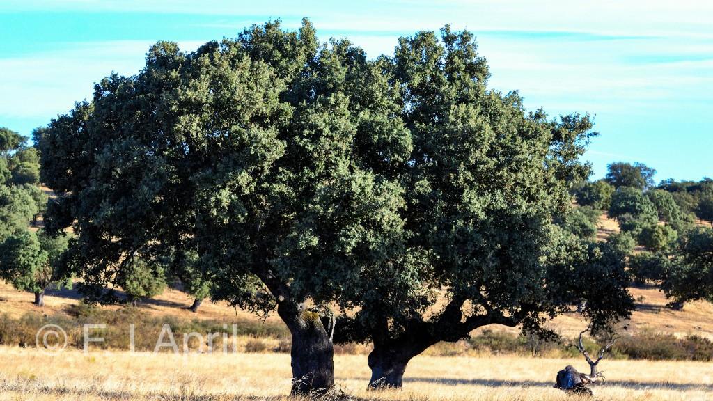 La dehesa extremeña - Extremadura´s oak forest
