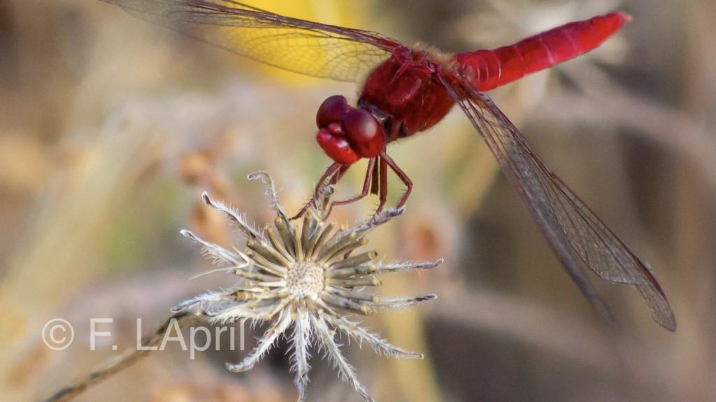 Libélula roja (Sympetrum striolalum) - Common darter