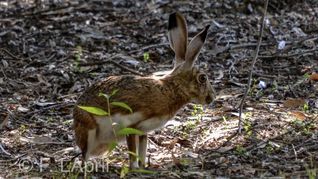 Liebre (Lepus granatensis) - Granada hare