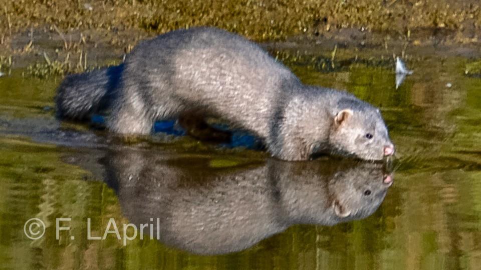 Nutria (Lutra lutra) - Euroasian otter