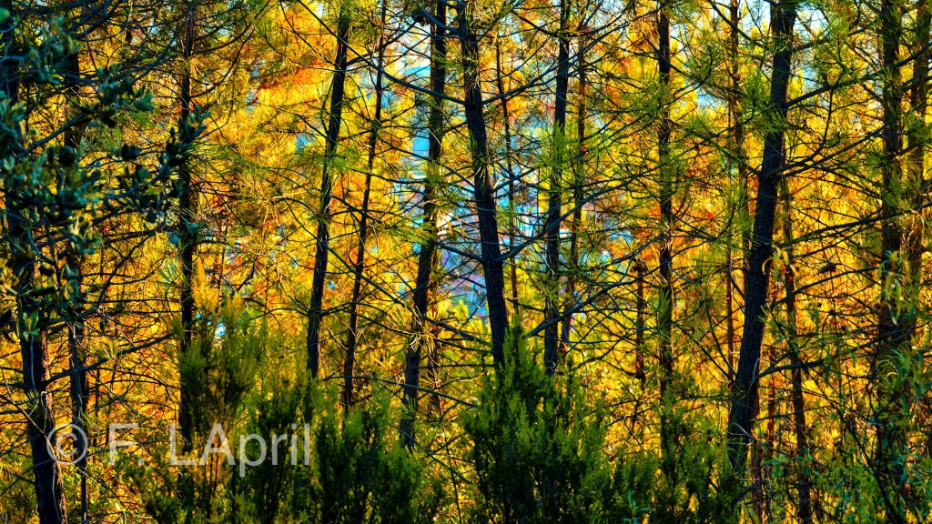 Otoño tras el pinar - Autumn after the pine forest