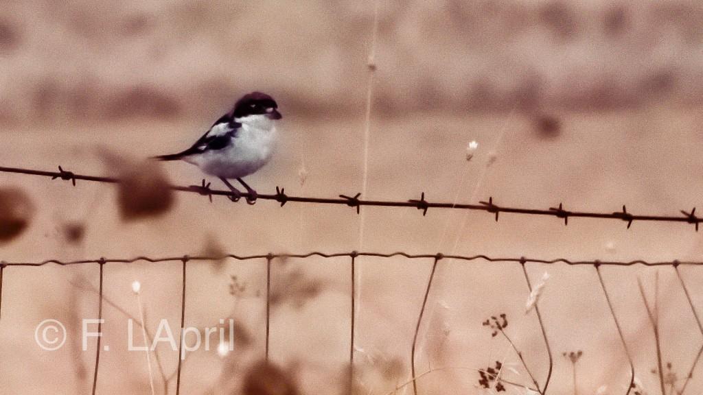 Papamoscas cerrojillo (Ficedula hypoleuca) - European pied flycatcher