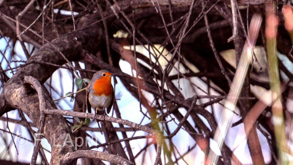 Petirrojo (Erithacus rubecula) - European robin