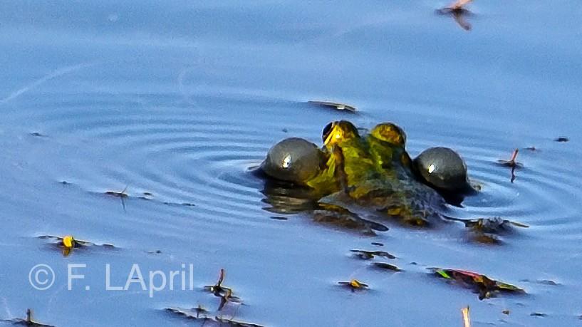 Rna común (Pelophylax perezi) - Perez´s frog
