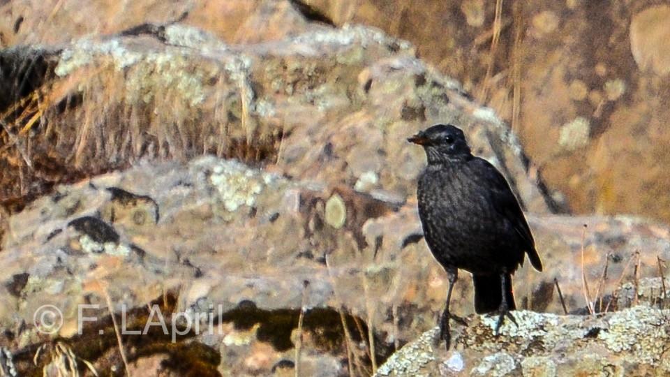 Roquero solitario (Monticola solitarius) - Blue rock thrush