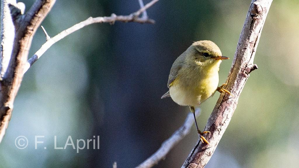 Zarcero común (Hippolais poliglotta) - Melodius warbler